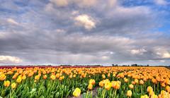 Big meeting of tulips. (Alex-de-Haas) Tags: oogvoornoordholland 1635mm d750 dutch europe hdr holland nederland nederlands nikkor nikon noordholland thenetherlands clouds landscape landschap lucht nature natuur skies sky tulip tulipfields tulipa tulips tulp tulpen tulpenvelden wolken