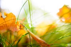 end or beginning? (gregor H) Tags: triesen liechtenstein li allsaintsday fall leaves grass green yellow orange macro closeup nature pure spirit light shine