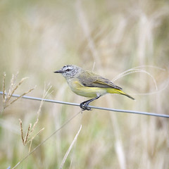 small bird series: yellow-rumped thornbill (Fat Burns ☮ (on/off)) Tags: yellowrumpedthornbill acanthizachrysorrhoa bird australianbird fauna australianfauna smallbird nikond500 sigma150600mmf563dgoshsmsports yellowbird thornbill oxleycreekcommon