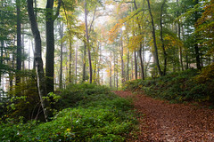 Golden October (martinstelbrink) Tags: aesbachtal aesbachvalley berdorf luxembourg luxemburg autumn herbst wald forest trees bäume hikingpath wanderweg sun sonne sony alpha7rii a7rii voigtländervmeclosefocusadapter leicasummicron35mmf20preasph leicasummicron35mmf20i leica summicron 35mm f20 preasph deutschluxemburgischernaturpark germanluxembourgnaturepark eifel südeifel