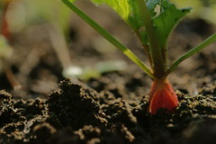 Radis (Onnalua) Tags: radis radish potager jardin garden macro légume vegetable rose pink biologique bio