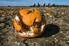 Smashing Pumpkins (Scrib Photography) Tags: smashingpumpkins halloween pumpkins allhallows