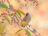 Highest Branch. (Omygodtom) Tags: ceder wax wing cederwaxwing wild wildlife bird bokeh nature natural nikkor red yellow yahoo nikon dof d7100 digital nikon70300mmvrlens usgs urbunnature detail