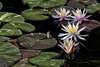 A Family of Five 306 of 365 (4) (bleedenm) Tags: 2017 chicagobotanicgarden flowers september summer waterlilies glencoeil water