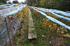 Parisian vines (Jeanne Menjoulet) Tags: parcgeorgesbrassens paris vignes vines parisian