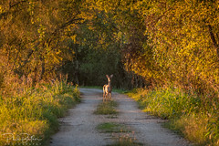 Find your Forest (philbutlerphoto) Tags: deer wildlife animal mammal austin tx texas atx nature natural morning light trees dirt road doe hornsby bend nikon d7100