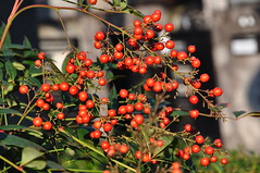 Heavenly bamboo; Nanten (Nandina domestica) (kyoshiok) Tags: heavenlybamboo nanten nandinadomestica garden kyoto japan