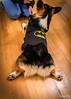 Batdog Cooper (docjfw) Tags: rockyhill dog portrait cooper halloween batdog ct batman