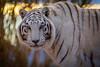 Chalet at sunrise (blackhawk32) Tags: arizona campverde chalet outofafrica zoo whitetiger