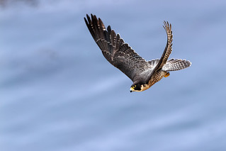 Peregrine over the Pacific