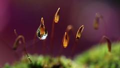Garde Rapprochée... (Callie-02) Tags: fleurs bois couleurs bokeh profondeurdechamp canon macro extérieur jardin pelouse eau goutte drop germesdemousse
