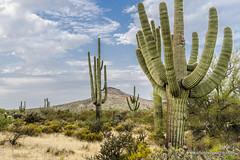 Maverick trail (doveoggi) Tags: 8744 arizona mcdowellsonoranpreserve scottsdale desert saguar