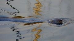 electric seal! (Edinburgh Nette ...) Tags: seals harbours september17 ribbet