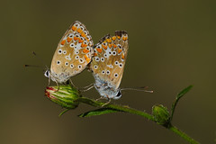 Aricia cramera mating (JoseDelgar) Tags: insecto mariposa ariciacramera 425866368732977 josedelgar naturethroughthelens coth coth5 ngc npc