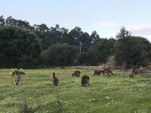 More Kangies