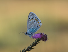 icarusblauwtje (Polyommatus icarus) (peter nijland) Tags: twente bergvennen dinkelland netherlands nature natuur vlinder buterfly tamron 90mm dauw dew