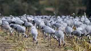 Kraniche bei der Futtersuche  -  cranes looking for food