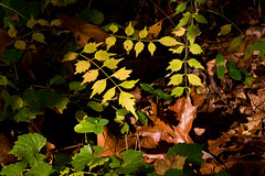 IMG_0049 A Patch of Sun (oldimageshoppe) Tags: leaves weeds forestfloor sunshine morning fall