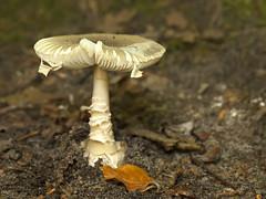 Paddestoel - Clingendael (mariandeneijs) Tags: paddenstoel paddestoel mushroom fungi toadstool bos park clingendael landgoedclingendael landgoed