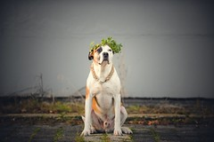 42/52 green is the new black (Jutta Bauer) Tags: dog excellentedgar ivy crown autumn edgar 52weeksfordogs 52weeksforedgar