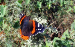 Admiral on mugwort (TJ Gehling) Tags: insect lepidoptera butterfly nymphalidae admiral admiralbutterfly redadmiral vanessa vanessaatalanta plant flower asterales asteraceae mugwort douglassmugwort californiamugwort artemisia artemisiadouglasiana canyontrailpark elcerrito