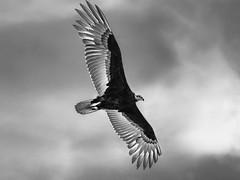 Urubu à tête jaune en vol. (Pyc Assaut) Tags: urubu à tête jaune en vol pyc5pyc pyc5pycphotography pycassaut peru pérou perou rapace vautour animus animal noirblanc noir blanc ciel extérieur sauvage amériquedusud