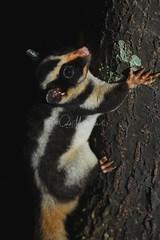 Striped Possum (Caleb McElrea) Tags: stripedpossum petaurus petaurid possum chamberswildlifelodges lakeeacham craterlakesnationalpark mist athertontableland wettropicsofqueensland farnorthqueensland fnq worldheritagearea unesco queensland australia