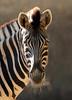Damara zebra Duisburg BB2A2461 (j.a.kok) Tags: zebra damarazebra equus herbivore animal afrika africa duisburg mammal zoogdier dier
