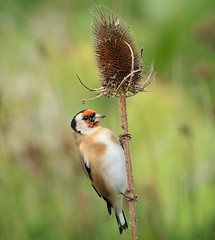 Goldfinch (Bogger3.) Tags: goldfinch venuspool teasel seeds canon7dmk2 tamron150x600lens coth5 sunrays5