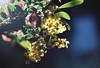 There is a light (Katie Tarpey) Tags: light wattle flowers natives australiannative yellow bokeh film 35mm agfa agfavistaplus400 nikonfm10 nikkor50mm14