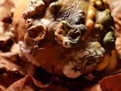 Carbuncle - Macro Monday (katy1279) Tags: halloween macromondays pumpkinminipumpkincarbunclemouldspider