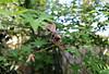 2017 Sydney: Backyard Maple (dominotic) Tags: 2017 springmapletree leaf green deadleaves mapleleaf bokeh sydney australia
