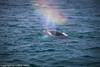 Humpback_Whale_0968 (Lothar Heller) Tags: buckelwale húsavík lotharheller megapteranovaeangliae walbeobachtung watching whale humpback iceland island islandia wal