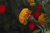 Colours (Rajavelu1) Tags: flowers colours macrophotography canon60d canonef100mmf28lisusmmacro art creative