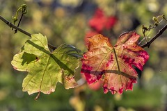 *Autumn Colors* - *Herbstfarben* (albert.wirtz) Tags: albertwirtz makro natur nature natura makrofoto macro autumn fall herbst herbstfarben autumnlight herbstlicht vineyard weinberg weinlaub leaves vineleaves ahrweiler badneuenahrahrweiler walporzheim ahrtal rotwein talderrotentraube valleyoftheredgrapes spätburgunder vine reben autunno bokeh osteifel ahr altenwegshof försterhof ausflugsziel wandern hiking deutschland germany rheinlandpfalz rhinelandpalatinate herbstblätter grün rot orange gelb yellow foliage