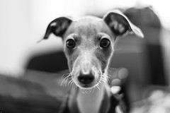 Italian Greyhound, Venice, California (paccode) Tags: solemn dog serious adorable quiet monochrome cute blackwhite losangeles california unitedstates us