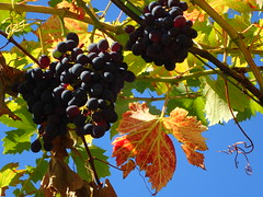 Sweet grapes (libra1054) Tags: weintrauben grapes uvas raisins uva früchte fruits frutas frutti