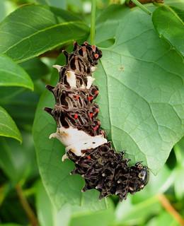 Byassa alcinous (Chinese windmill, larva)