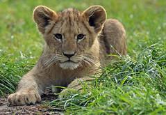 african lion Beekse Bergen BB2A0858 (j.a.kok) Tags: leeuw lion lioncub leeuwenwelp welp cub afrikaanseleeuw africanlion afrika africa animal mammal zoogdier dier pantheraleoleo beeksebergen specanimal specanimalphotooftheday