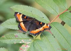 Milbert's Tortoiseshell (sbuckinghamnj) Tags: butterfly grandtetonnationalpark grandteton wyoming milbertstortoiseshell
