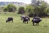 Kaffernbüffel (Vitatrix) Tags: büffel herde natur tiere
