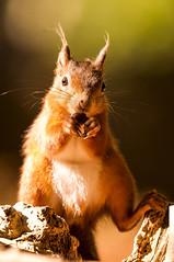 Red squirrels (Rupinder Khural) Tags: redfur england uk brownsea island cute beautiful nature wildlife cameragear nikond300s nikon animal mammal squirrel redsquirrel