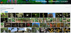 56,000 Images, 6th October 2017 - IDENTIFYING AUSTRALIAN RAINFOREST PLANTS,TREES and FUNGI Flickr Group (Black Diamond Images) Tags: arfmilestone 56000images 56000 6102017 56000thimage idrainforestgroup idrainforestgroupmilestones australianrainforestplants rainforestplant rainforestplants arfp australianplants identifyingaustralianrainforestplantstreesandfungigroup rainforest rainforests australianrainforest australianrainforests screenshot 6thoctober2017 rainforestflora australianrainforestflora rainforestidentification australianflora australiannativeplants