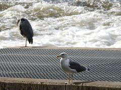 Herring Gull & Heron, Fish Ladder, Blackweir, River Taff, Cardiff 6 October 2017 (Cold War Warrior) Tags: cormorant heron blackweir river taff cardiff larusargentatus ardeacinerea herringgull greyheron butepark