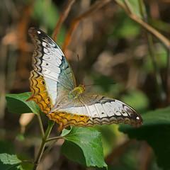 Common Cruiser female (mishko2007) Tags: vindulaerota commoncruiser chiangmai thailand 105mmf28