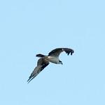 DSC_4458.jpg Osprey, Natural Bridges thumbnail