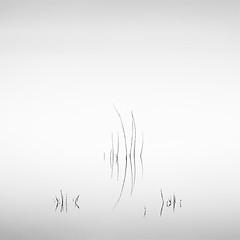 Death in the Swamp V (DavidFrutos) Tags: davidfrutosegea murcia canondslr 5dmarkii canon70200mm waterscape minimalismo minimal minimalism minimalist square swamp pantano haiku nature naturaleza landscape atmosphere ambiance fineart paisaje reflejo reflection reflejos reflections agua water monochrome blancoynegro bn bw greyscale silverefexpro