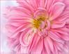 Pink Dahlia (hey its k) Tags: backyard dahlia flowers nature hamilton ontario canada ca img2065e canon6d macro pink waterdrops