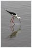 2016 10 14_Black-winged Stilt-1.jpg (Jonnersace) Tags: blackwingedstilt rooipootelsie krugernationalpark lowersabie sunsetdam bird wader canon africa safari himantopushimantopus