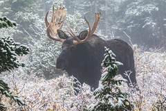 Massive Moose bull in the fog and snow